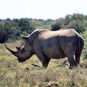...both black and white rhino...