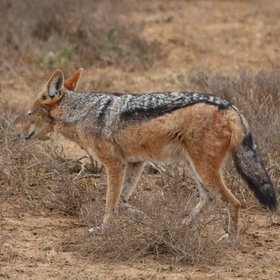 Resident, but more rarely seen are for example black-backed jackals.