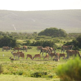...you'll often find surprisingly large numbers of eland…