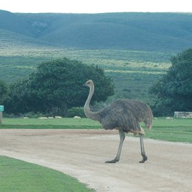 …and the ubiquitous ostrich.