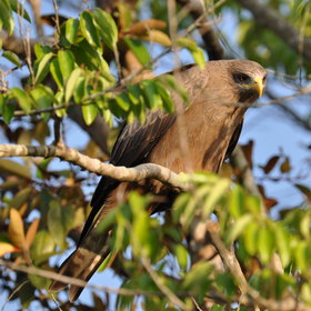 ...and to look at things like this yellow-billed kite...