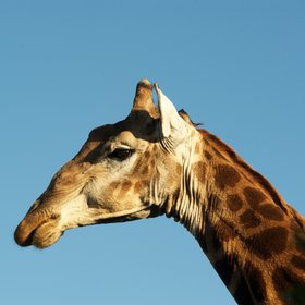 … and get fairly close to a male giraffe.