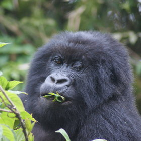 The Volcanoes National Park (Virunga Mountains) is the home of the mountain gorilla.