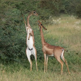 …as well as being Kenya's sounthernmost home of the long-necked, browsing gerenuk.