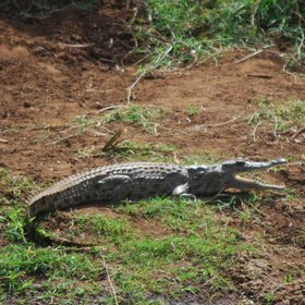 In most of Meru's many streams you can spot crocodiles…
