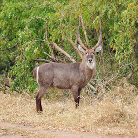 … and you'll also find good numbers of waterbuck …