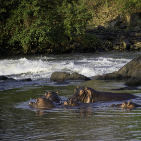 Unusually, for such a fast river, you'll find plenty of hippos and large crocodiles in the Shire.