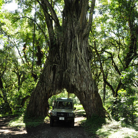 One of the best ways to explore the park is by 4WD; here you can see the famous fig tree.