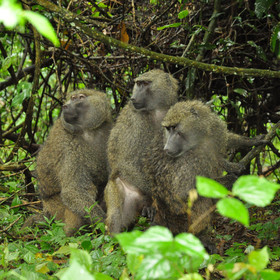 The forests are also rich with primates such as these baboons.