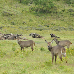 Arusha national park has a reasonable population of plains game…