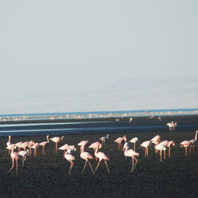 And the large flamingo population frequently surround the lake, feeding on the algae.