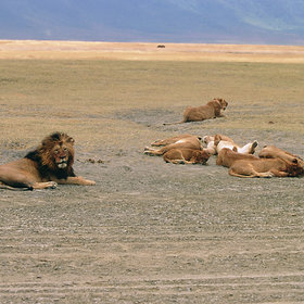 ...as well as lions which are well-known to be relaxed...