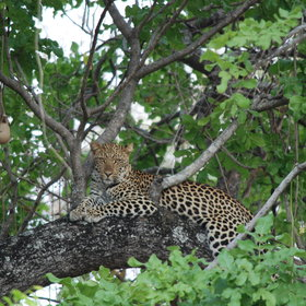 Leopards are prevalent and often sighted on night-drives.