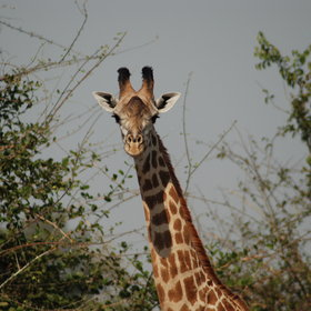 … and the Thornicrofts giraffe looking over the trees.