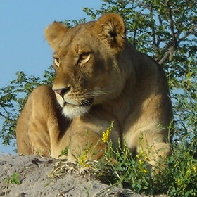 The large predators are all present in Botswana and make the most of a high density of game.