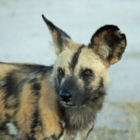Northern Botswana is one of the main strongholds for wild dogs.