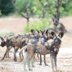 Wild dogs are often seen in Mana Pools National Park.