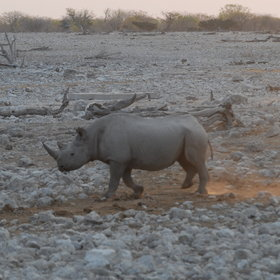 …and black rhino.