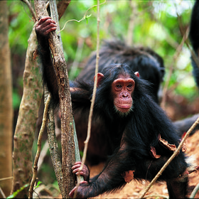 Check out the chimps in the Mahale National Park…