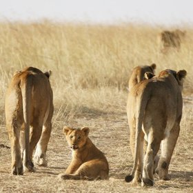 …where you'll have close encounters, as with these lions in the Maasai Mara Reserve.