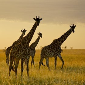 …or graceful giraffes, as here, in the Mara Naboisho Conservancy.