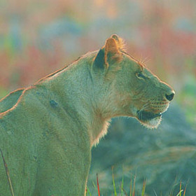 Namibia is perfect for those seeking big cats and wild dogs.