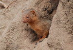 Dwarf mongoose safari