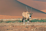 Gemsbok Self-drive Safari