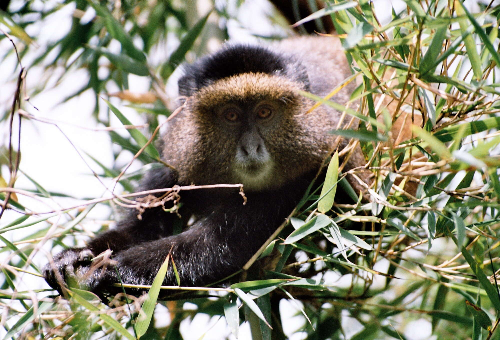 Private guided safari in Rwanda including chimpanzee tracking in Nyungwe Forest National Park, Lake Kivu, golden monkey and mountain gorilla tracking in Volcanoes National Park and Kigali