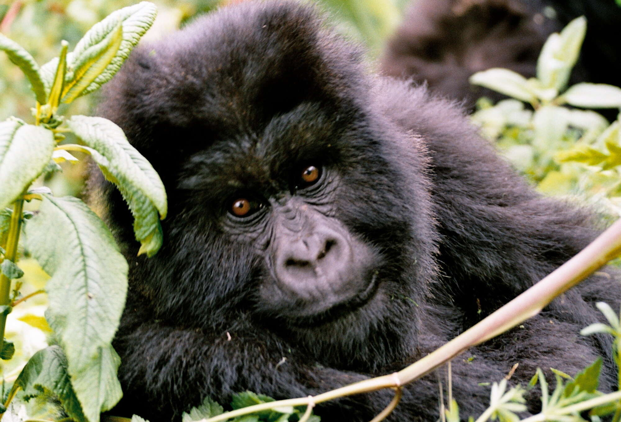 Gorillas and Serengeti Safari privately-guided safari with private 4WD visiting Volcanoes National Park, Ngorongoro Crater and the Serengeti