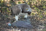 Martial Eagle Fly-in Safari