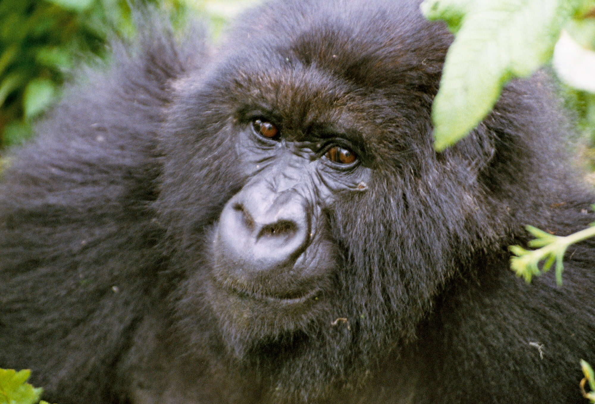 Mountain Gorilla Safari including golden monkey and mountain gorilla tracking in Volcanoes National Park, Rwanda