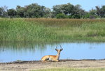 Reedbuck safari