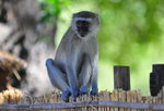 Vervet Monkey Safari