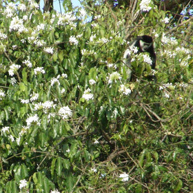 A speciality is the rare colobus monkeys that live in a small section of the riverine woodland.