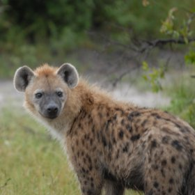 ...lots of hyena...