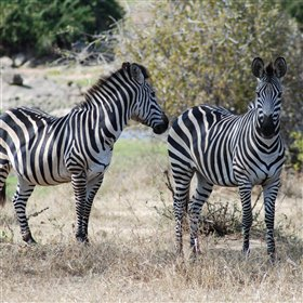 The Ruaha wildlife includes Zebras crossing the fields...