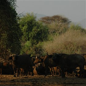 Buffalo are common here, singly and in herds...