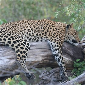 ...and it is particularly well-known for good leopard sightings