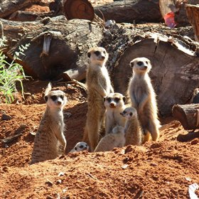 ...and of course the resident meerkats...
