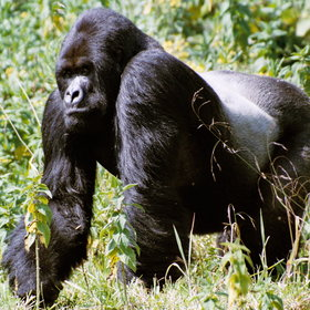 ...trek to see the mountain gorillas...