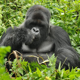And of course the main reason for staying here is to track gorillas.
