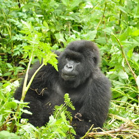 And of course the main reason for staying here is to track gorillas ...