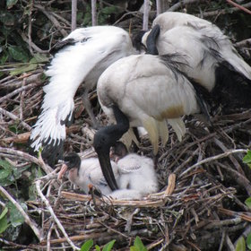 Chicks at the heronry, like these sacred ibis, begin to hatch from October onwards.