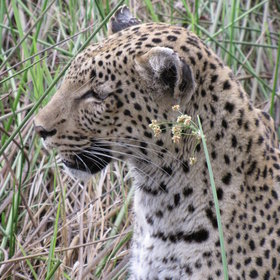 Game viewing is variable here but lucky sightings can include predators such as leopard...