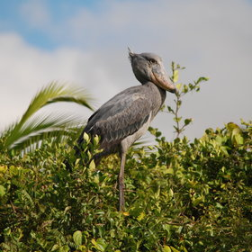 However most people come to this area to see the prehistoric looking shoebill.