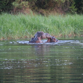 From the camp you will be entertained by hippos.