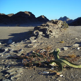 Damaraland is home to the Welwitschia plant...
