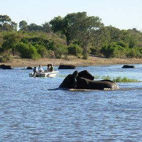 Boat trips along the banks of the Chobe Nat. Park offer excellent game viewing opportunities...