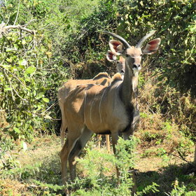 ...as well as other wildlife, like kudu.